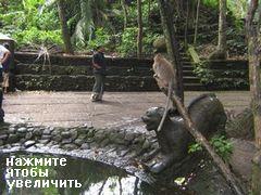 Развлечения и отдых на Бали, Обезьяны ныряют в лужу с дерева
