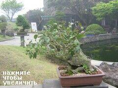 Карликовые деревья, остров Чеджу, Деревья Бонсай