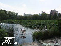 парк уено в токио, Прикольный пруд с птичками, если близко не подходить и не видеть, что это лотосы, то можно подумать, что это болото