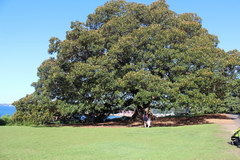 Sights of Sydney, Famous tree in Wentworth Park