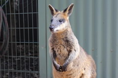 What to see in Sydney, Kangaroo at the Zoo